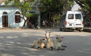 Parkplatz mit Ziegen
